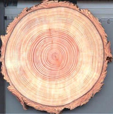 Tree_ring